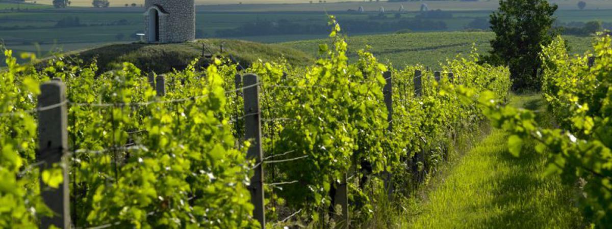 Weinberge in der Region Velké Bílovice